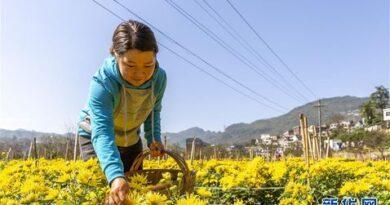 """Desde el inicio de este año, el pueblo Qiulin, de la provincia de Guizhou, adopta el método de """"empresa + cooperativa +…"""